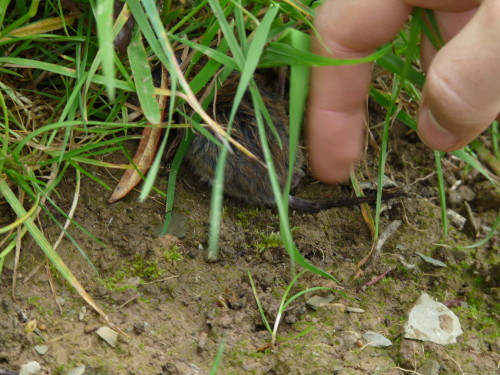photo d'un mulot dans l'herbe