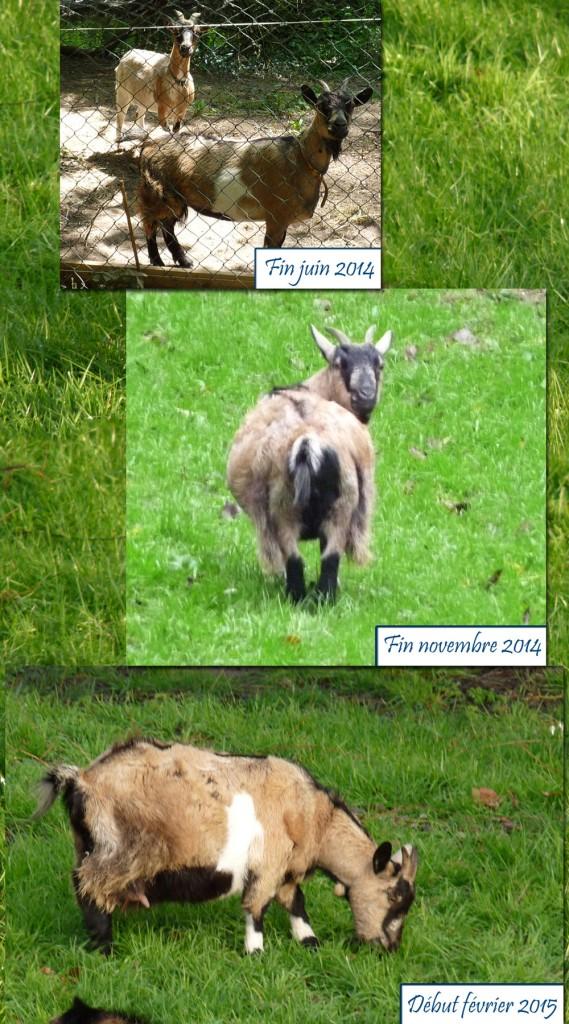 gestation chèvre