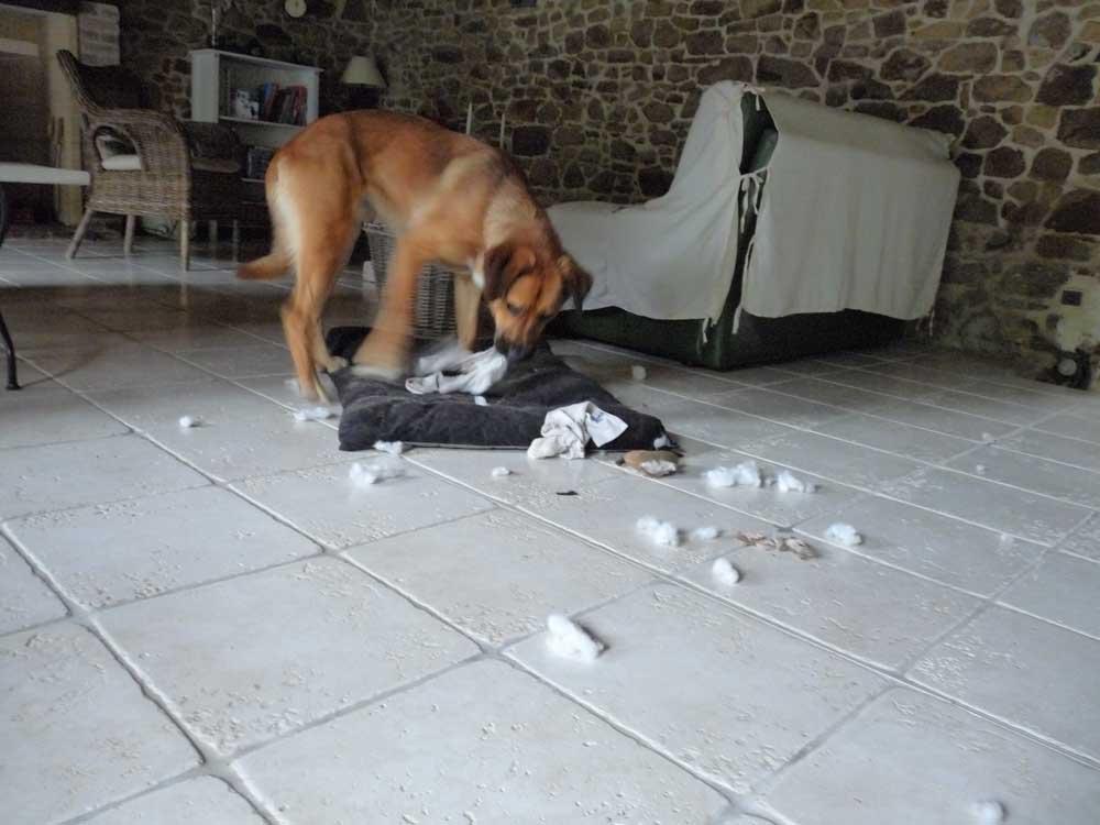 Mon chien déchire son tapis