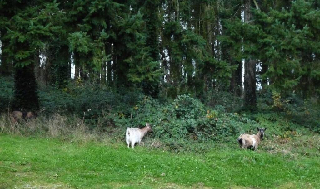 chèvre fugueuse