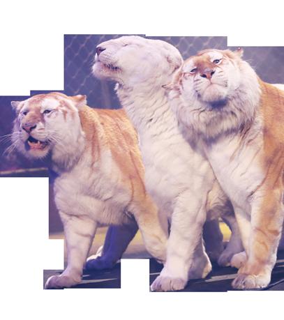 les tigres du cirque bouglione